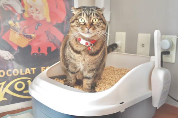 システムトイレでおしっこする猫