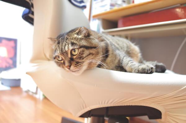 カシコチェアに乗った猫